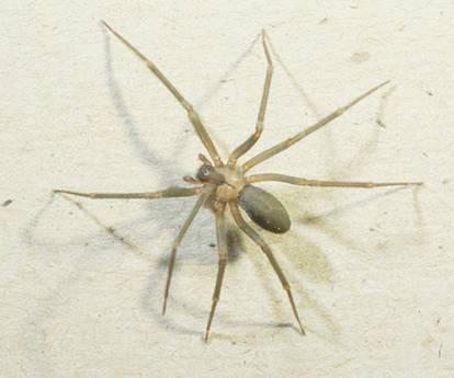 brown recluse.jpg
